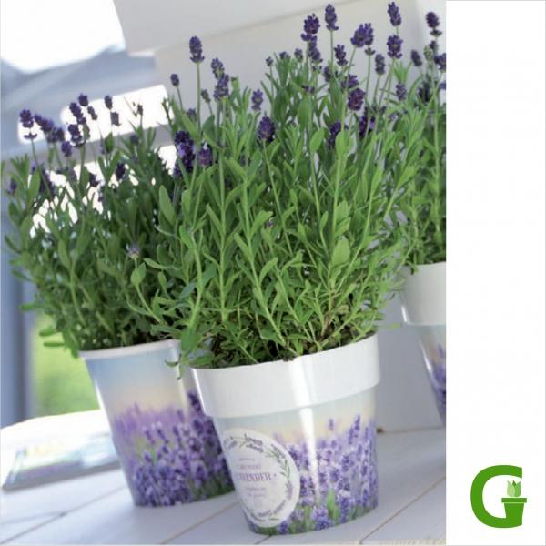 Motiv Blumentopf Kräuter Lavendel